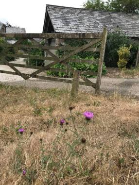thistles by gate
